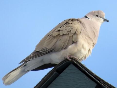 African Collared-Dove Adult/immature