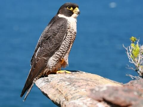 Peregrine Falcon Identification All About Birds Cornell Lab Of Ornithology