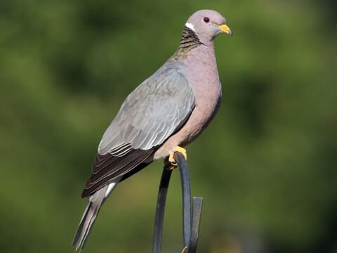 Band-tailed Pigeon Identification, All About Birds, Cornell Lab of