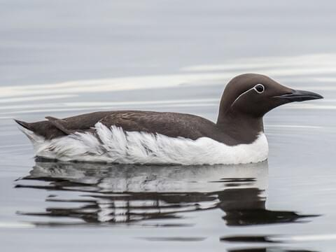Common Murre Identification, All About Birds, Cornell Lab of Ornithology