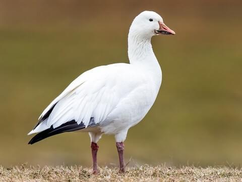 Snow Goose Adult white morph