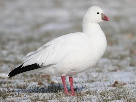 Ross's Goose Adult white morph