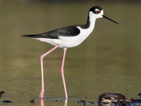 Black-necked Stilt Adult (Black-necked)