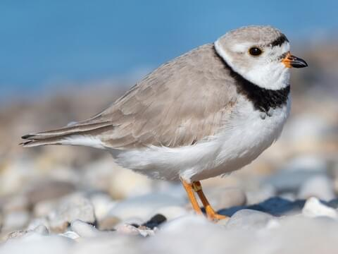 Piping Plover Breeding adult