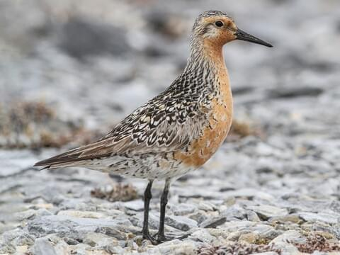 Red Knot Breeding adult