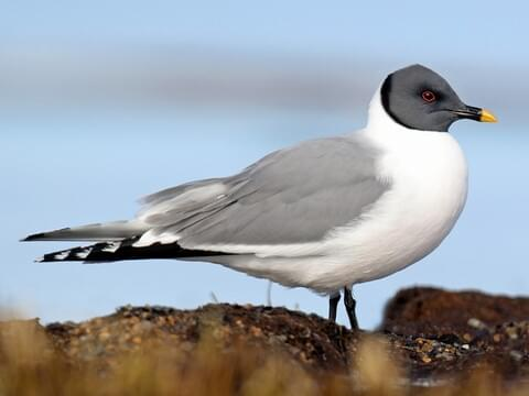 Sabine's Gull Breeding adult