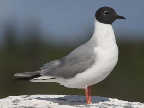 Bonaparte's Gull Breeding adult