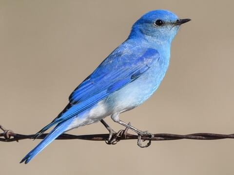 Mountain Bluebird Adult male