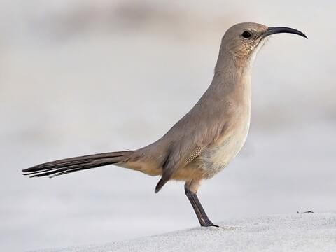 LeConte's Thrasher Adult