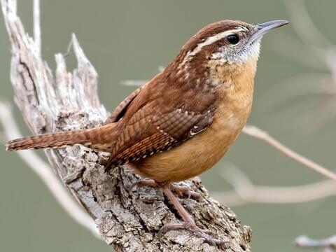 Carolina Wren Identification All About Birds Cornell Lab Of Ornithology