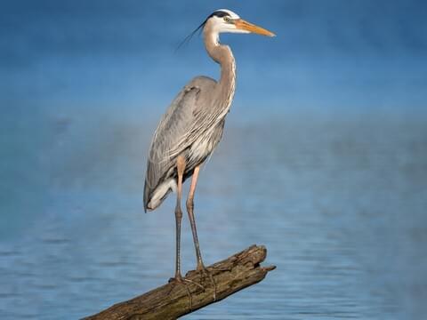 Great Blue Heron Adult (Blue form)