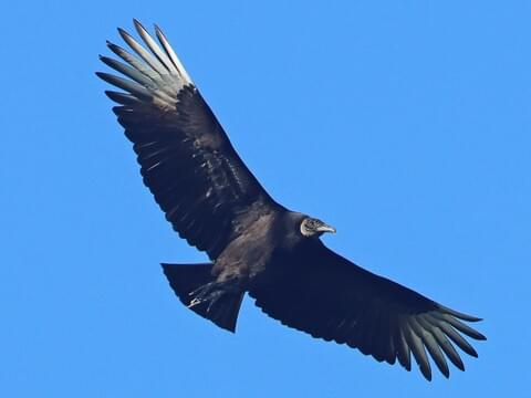 Black Vulture Adult