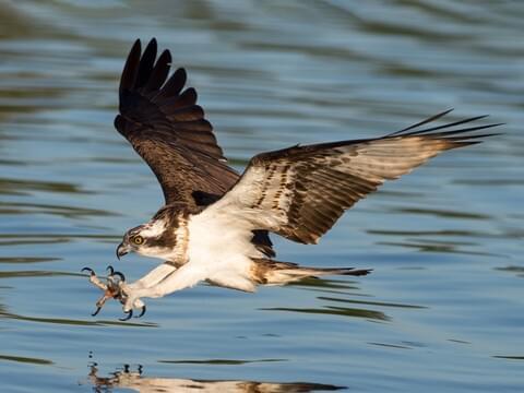 Osprey Identification, All About Birds, Cornell Lab of Ornithology