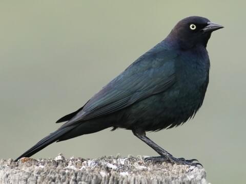 Bird Blackbird Black BE49
