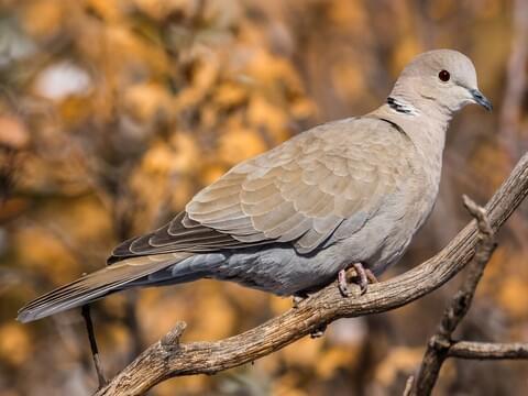 Eurasian Collared-Dove Adult (Eurasian)