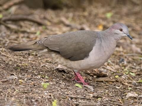 White-tipped Dove Adult (White-tipped)