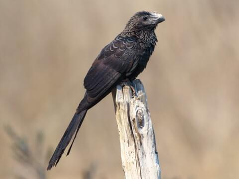 Smooth-billed Ani Adult