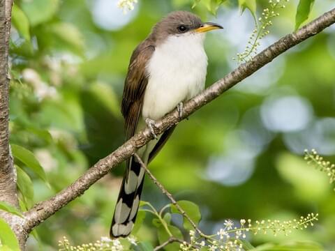 Yellow-billed Cuckoo Adult