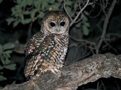Spotted Owl Overview All About Birds Cornell Lab Of Ornithology