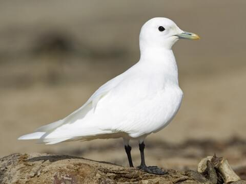 Ivory Gull Adult