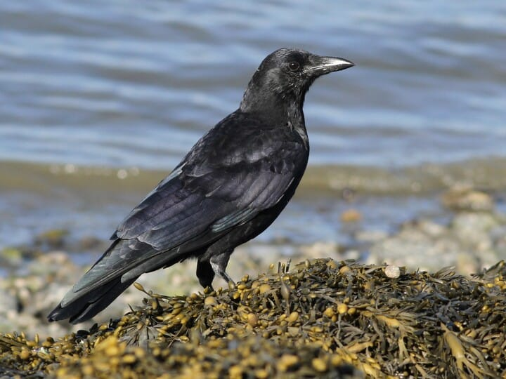 American Crow Adult