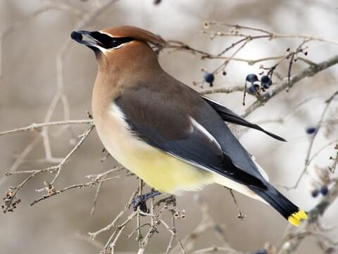 Cedar Waxwing Identification, All About Birds, Cornell Lab