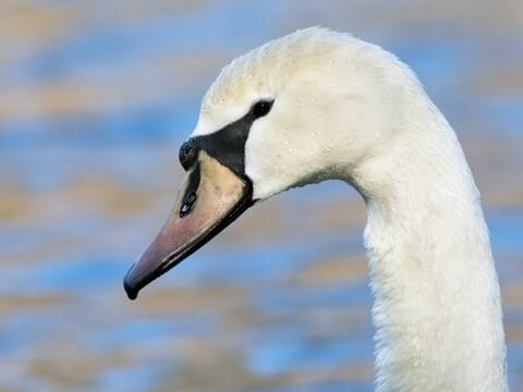 Mute Swan Identification, All About Birds, Cornell Lab of