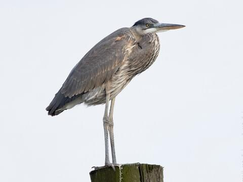 All About Birds Great Egret >> Great Blue Heron Identification All About Birds Cornell Lab Of