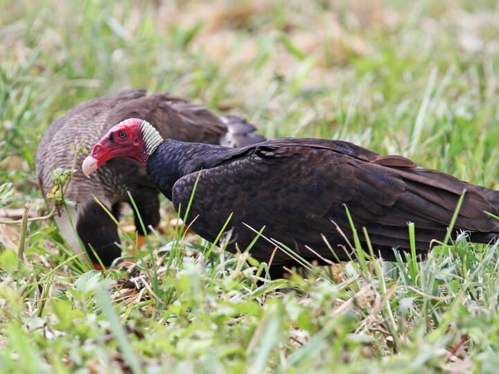 Turkey Vulture Adult (Tropical) (with Southern Caracara)