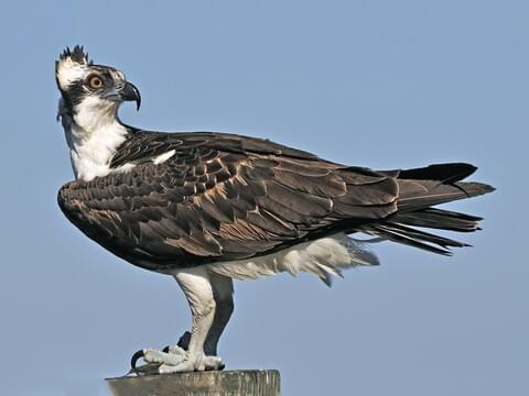 Osprey Identification All About Birds Cornell Lab Of Ornithology