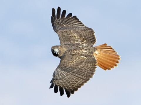 Red-tailed Hawk Identification, All About Birds, Cornell Lab of Ornithology