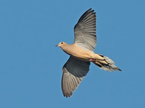 Mourning Dove Identification, All About Birds, Cornell Lab