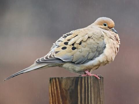 Mourning Dove Identification, All About Birds, Cornell Lab of