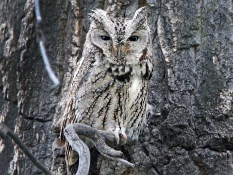 Eastern Screech-Owl Identification, All About Birds, Cornell Lab of Ornithology