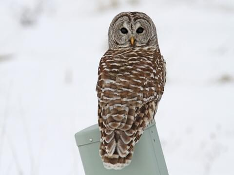 Carved Wood Spotted Owl