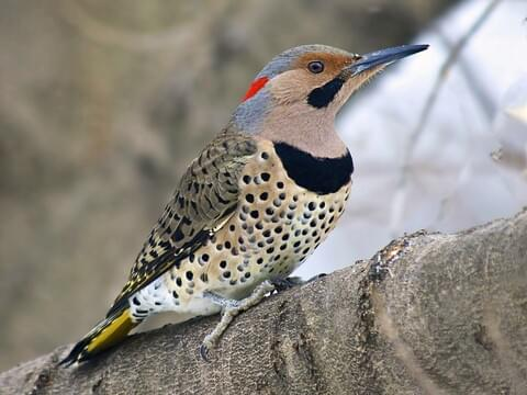Northern-Flicker Woodpecker