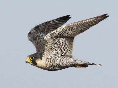 Peregrine Falcon Identification, All About Birds, Cornell Lab of Ornithology