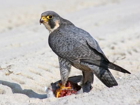 2f2f03fa Peregrine Falcon Identification, All About Birds, Cornell Lab of ...