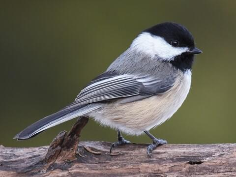 Black-capped Chickadee Identification, All About Birds, Cornell ...