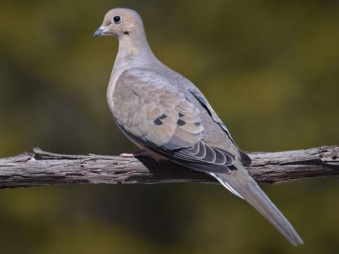 Mourning Dove Identification, All About Birds, Cornell Lab of Ornithology