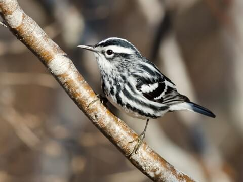 Black-and-white Warbler Identification, All About Birds