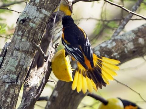 Baltimore Oriole Identification All About Birds Cornell Lab Of Ornithology