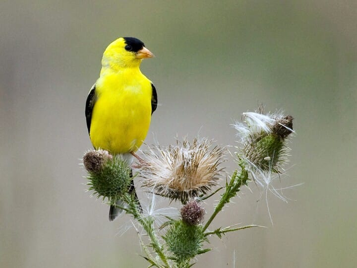 American Goldfinch Breeding male