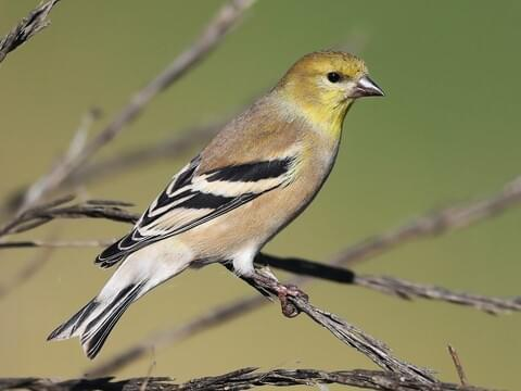 American Goldfinch Identification All About Birds Cornell Lab Of Ornithology