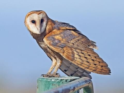 Barn Owl Identification, All About Birds, Cornell Lab of Ornithology