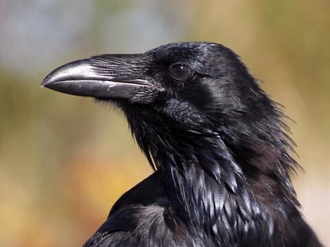 Common Raven Identification, All About Birds, Cornell Lab of