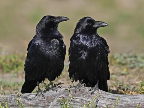 Common Raven Identification, All About Birds, Cornell Lab of Ornithology