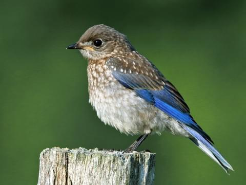 Eastern Bluebird Identification, All About Birds, Cornell