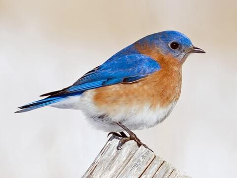 Eastern Bluebird Identification All