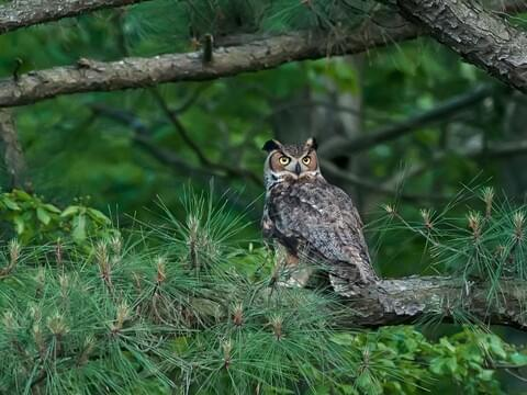 Great Horned Owl Identification All About Birds Cornell Lab Of Ornithology